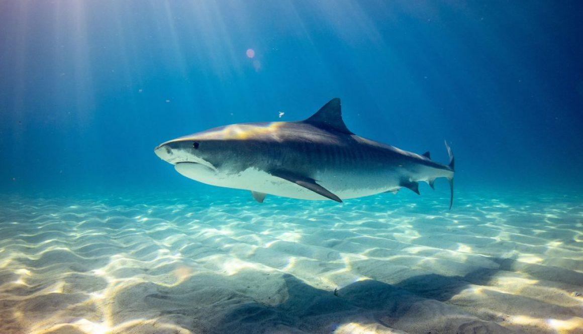 shark rig