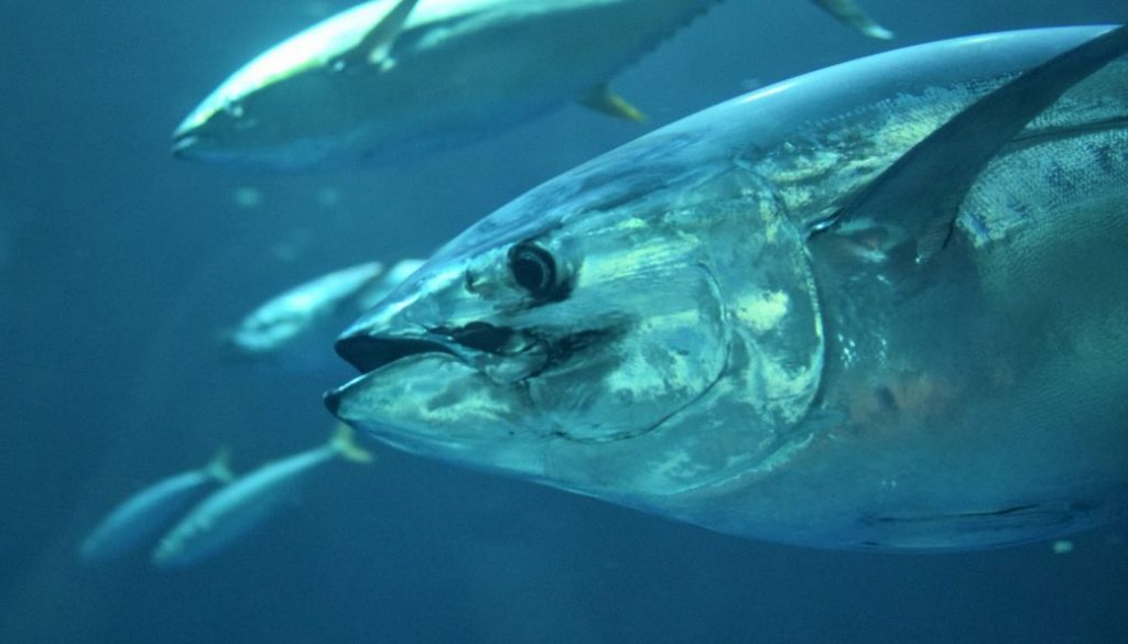 yellowfin lures