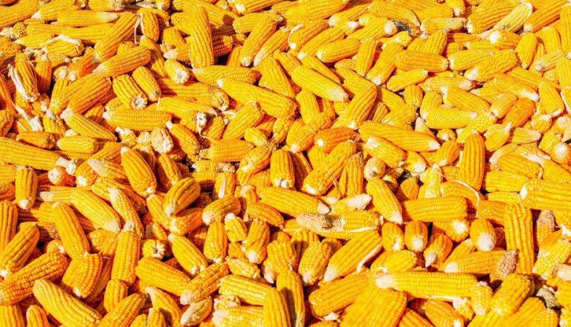 corn bait