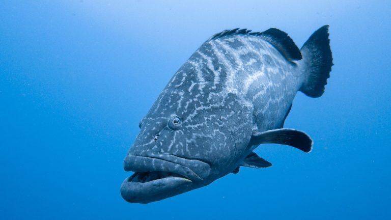 grouper bait