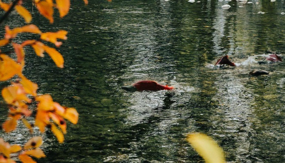salmon river lures