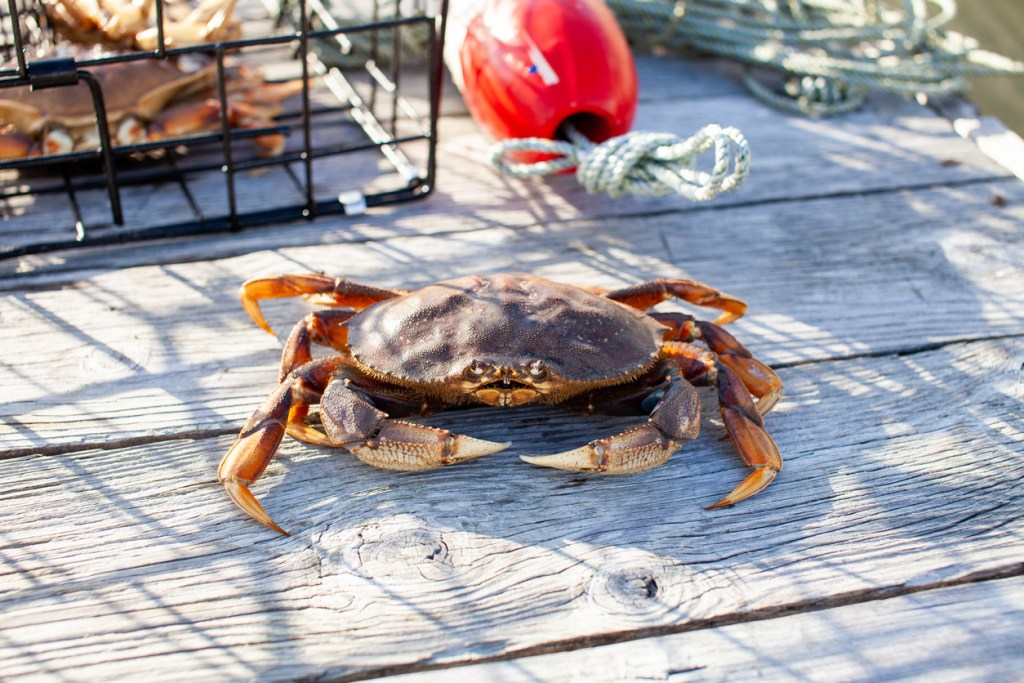 A male Dungenes crab sitting on the dock with a crab trap behind him