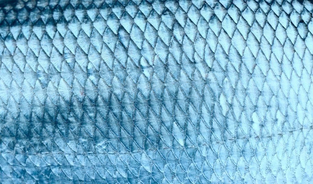 Asp fish scales