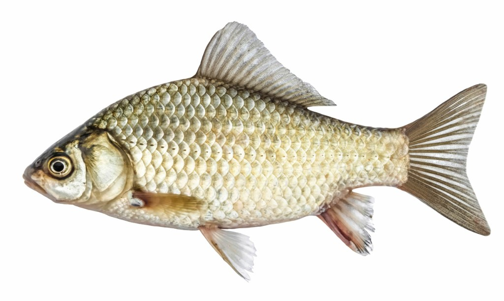 Fish, isolated with scales