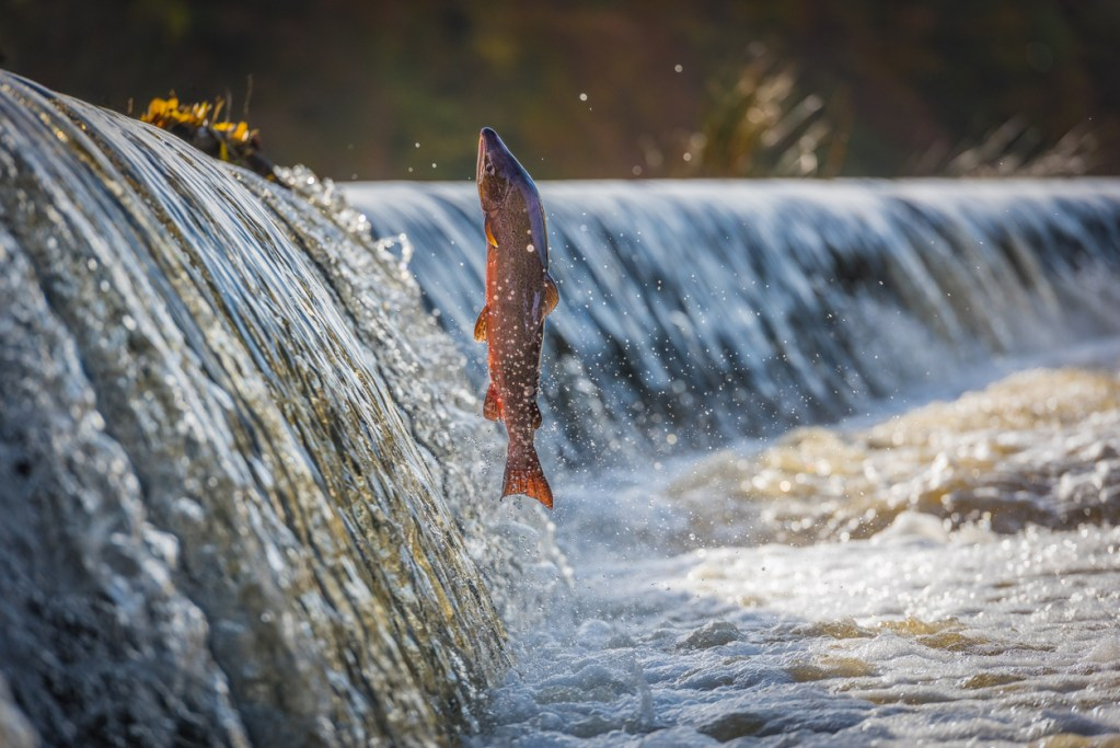 Male Salmon jumping the Weir on the river