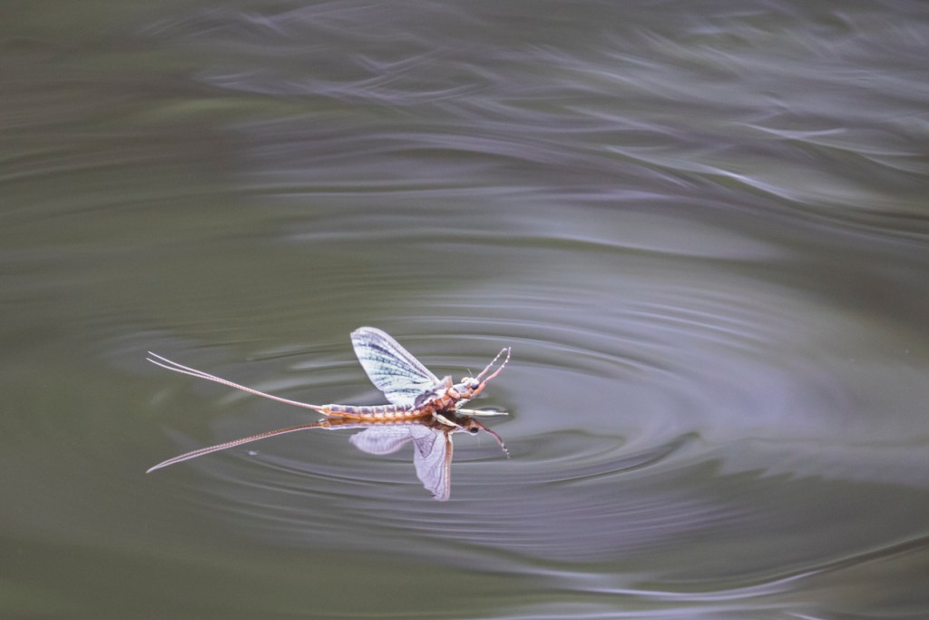 Mayfly and ripple on still water