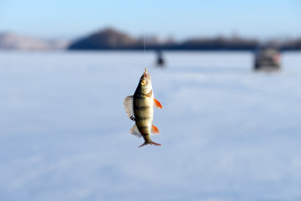 Perch, just caught from the hole