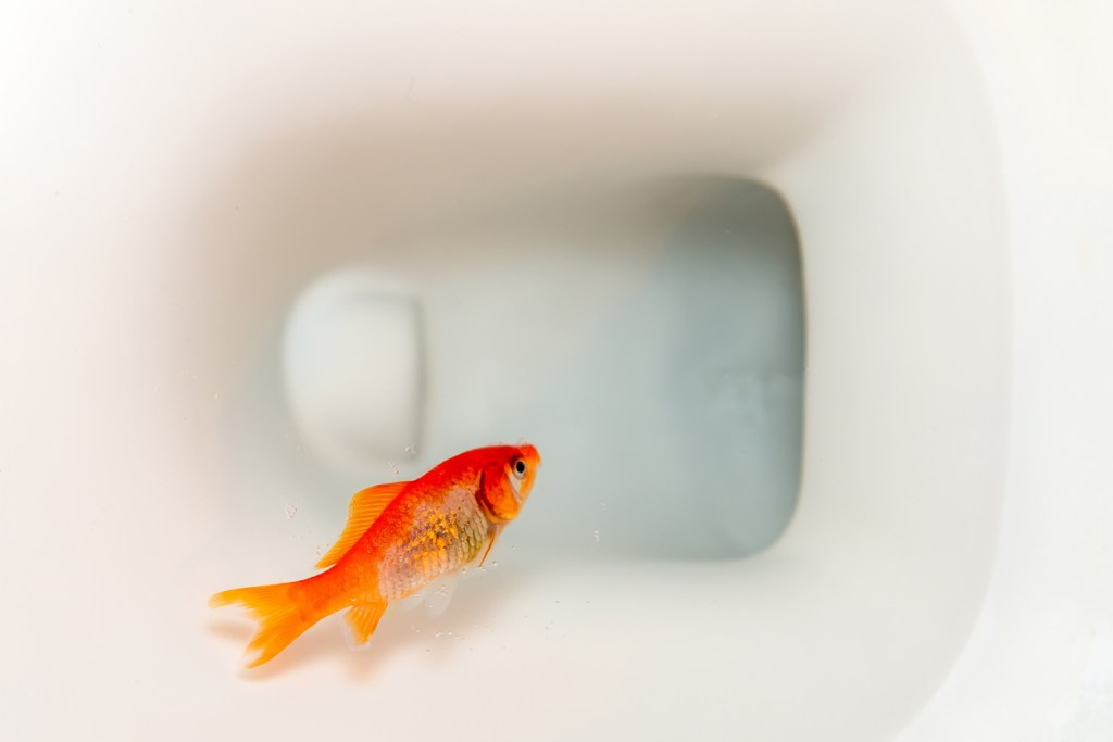 goldfish floating in a toilet