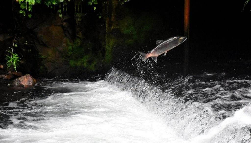 salmon swim upstream