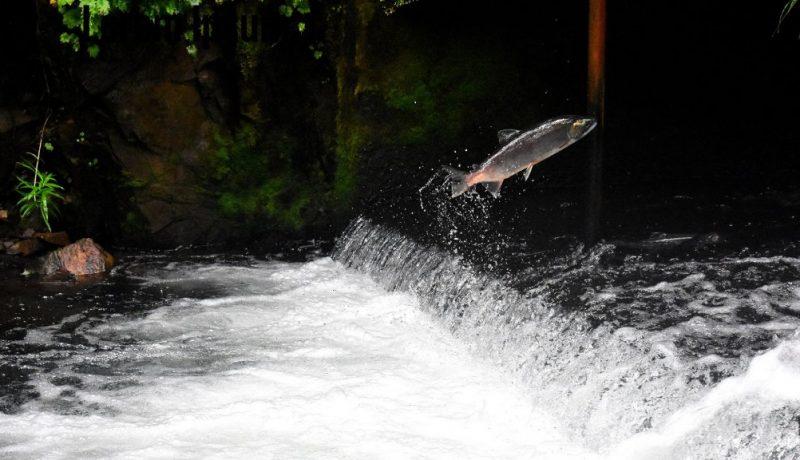 salmon swim upstream