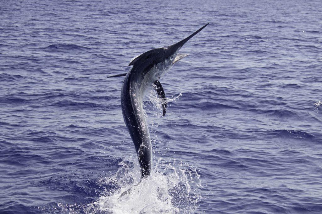 Black marlin jump dance