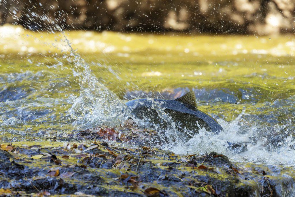 Chinook Salmon also known as King Salmon
