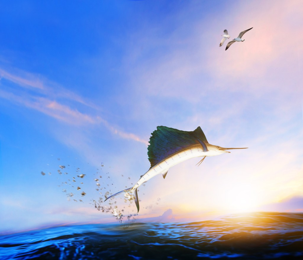 marlin fish jumping