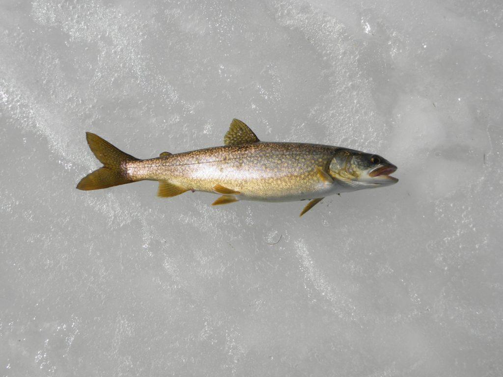 Full lake trout on shiney ice