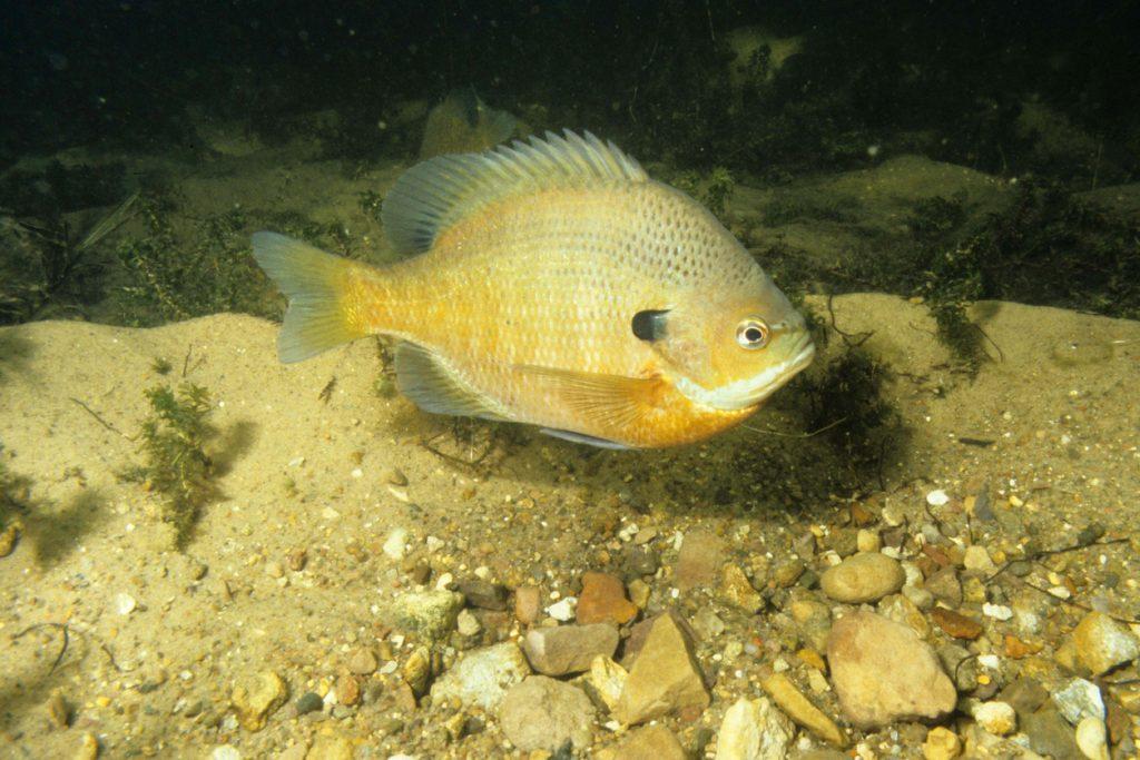 male bluegill underwater guarding spawning
