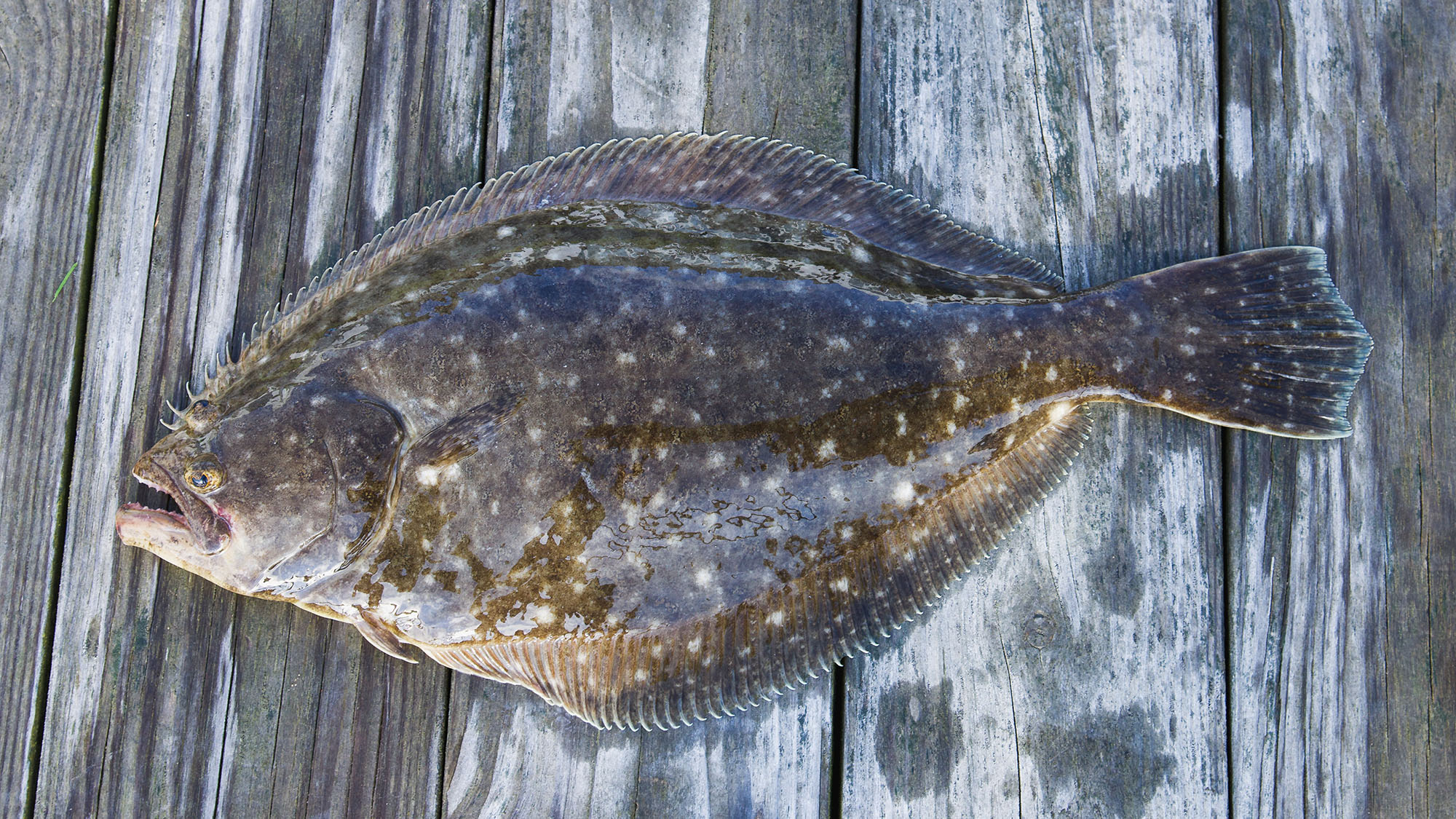 what does California Halibut taste like