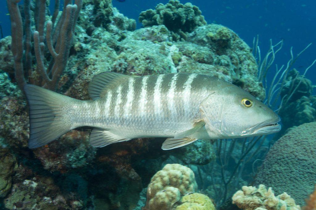 A Cubera snapper (Lutjanus cyanopterus) on a reef off the coast of Bonaire.