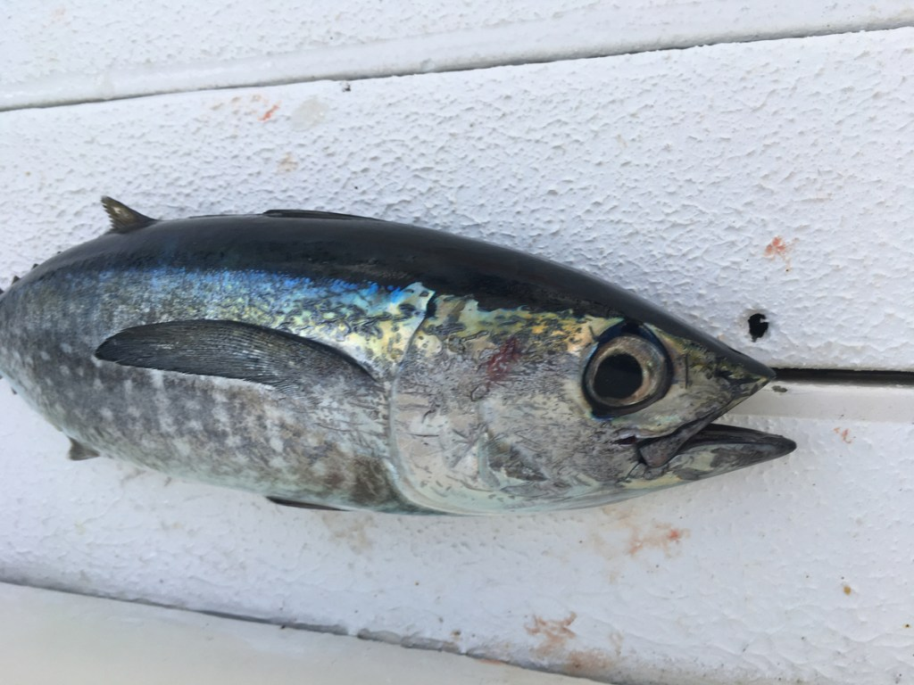 Blackfin Tuna Caught