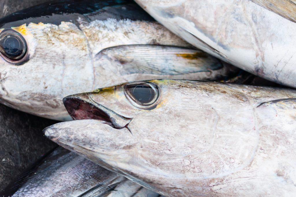 Fresh caught Blackfin Tuna