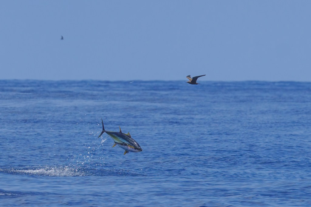 Tuna jumping out of water