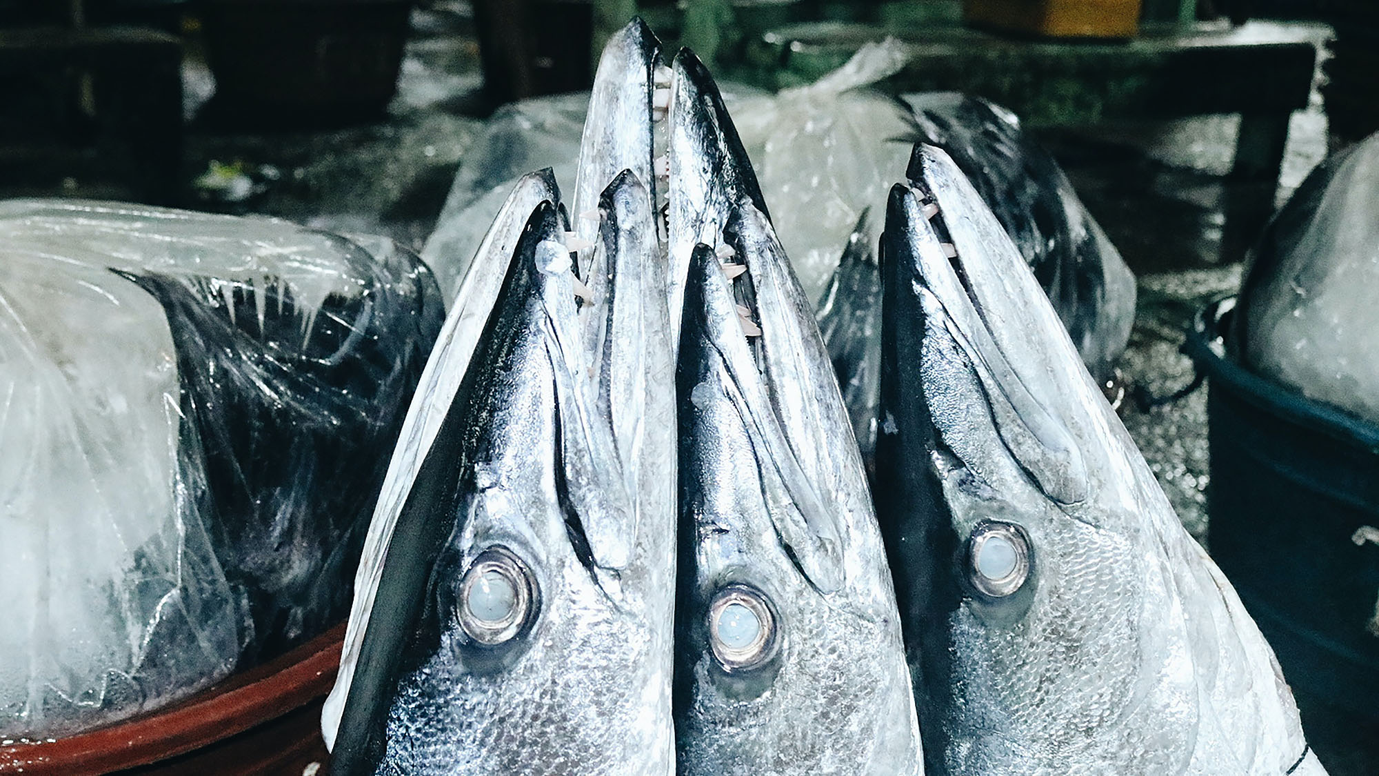 best lures for Barracuda