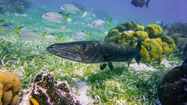 how to catch Barracuda from shore