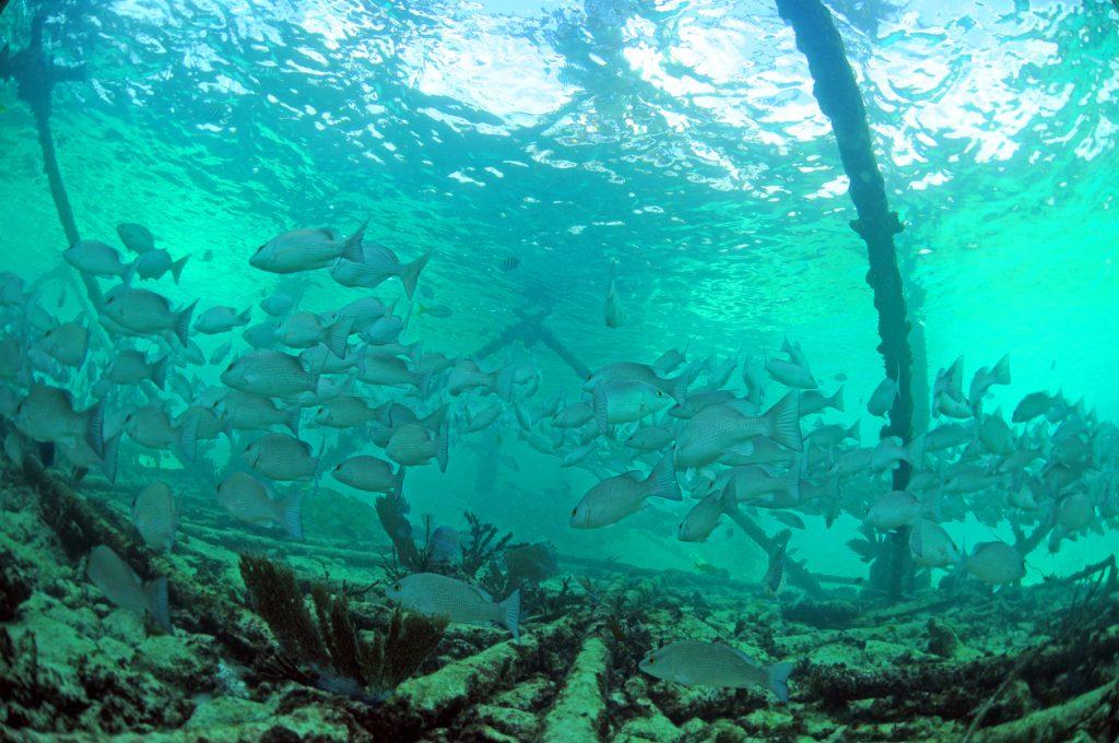Mangrove snapper fish underwater