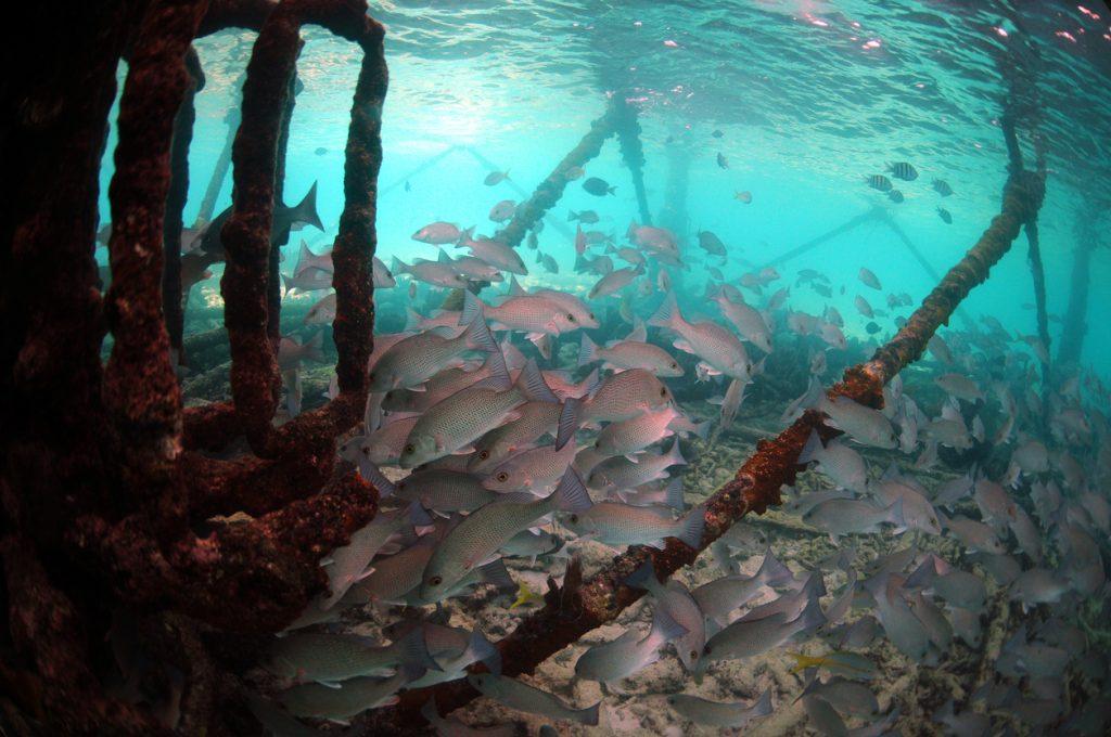 Underwater Mangrove snapper