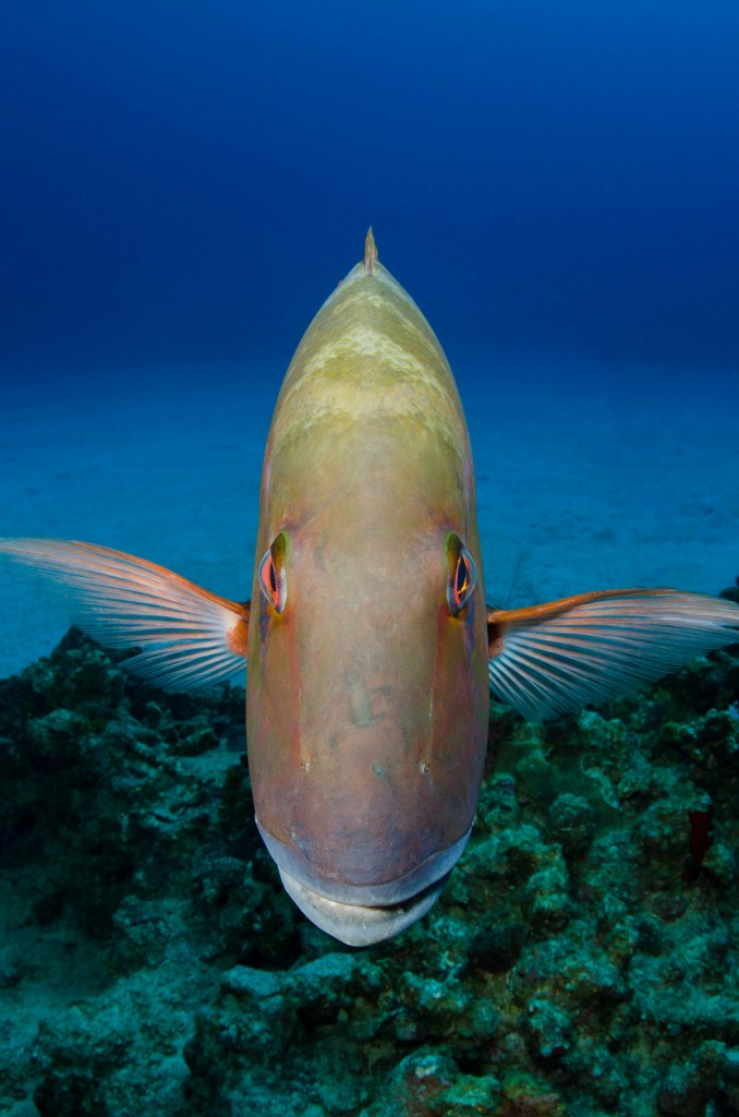 mutton snapper was just begging
