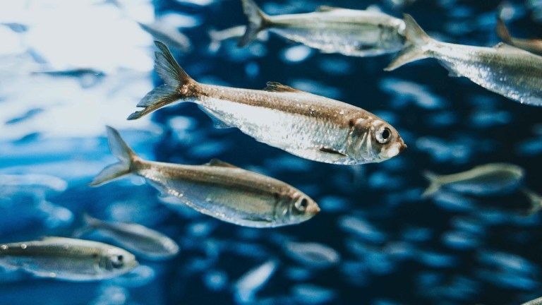 how to brine herring for salmon