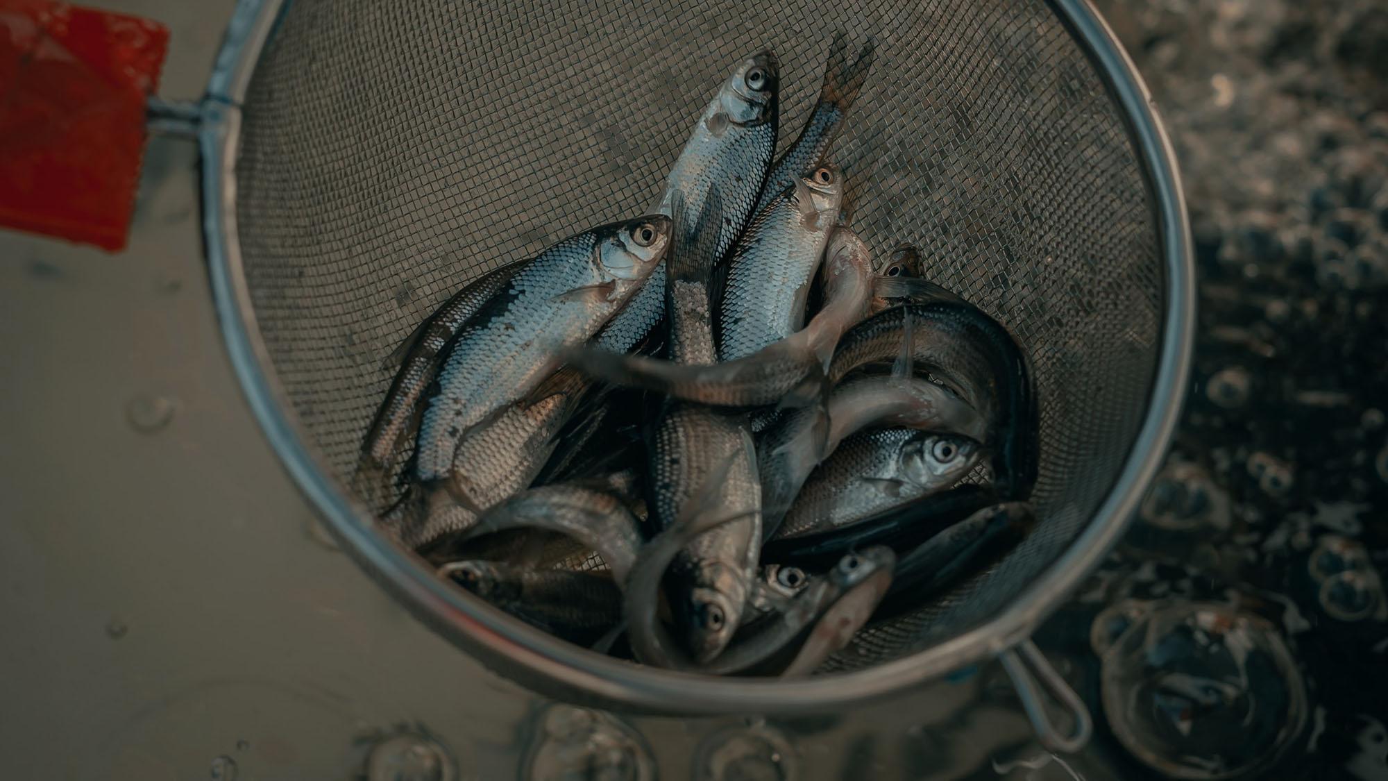 how to catch herring