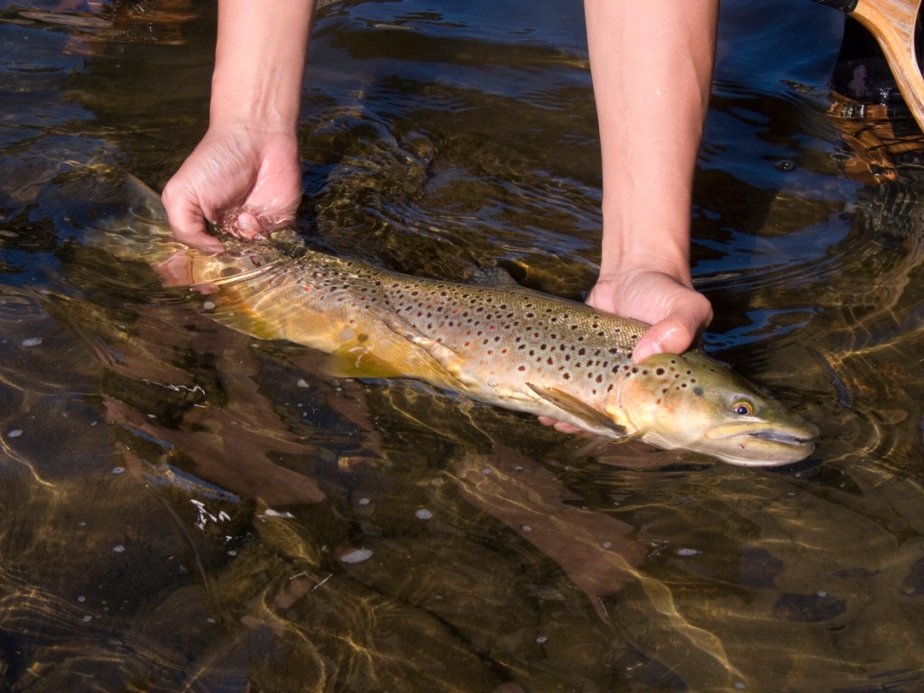 Bown trout revives after catching