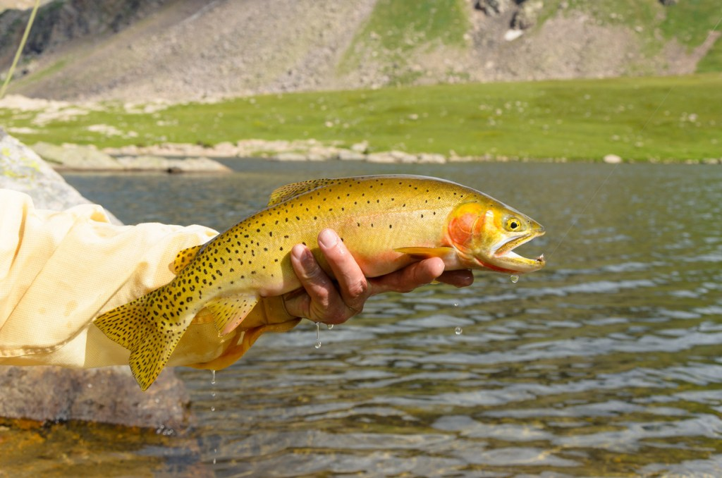 Cutthroat Trout caught