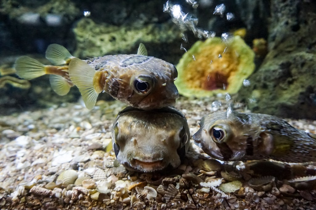 Some puffer fish gathered
