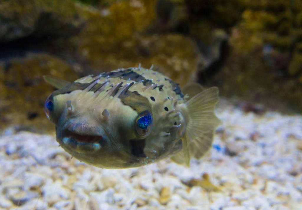 Striped colored puffer fish