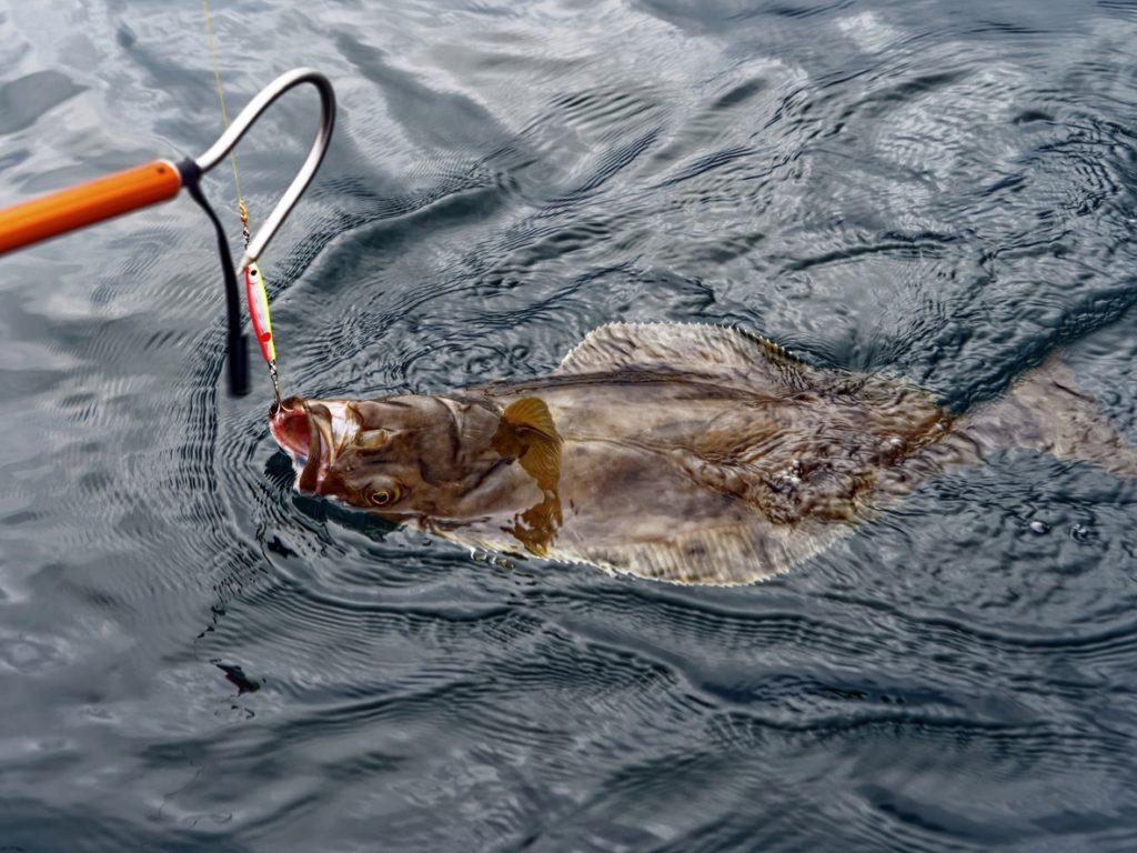 White halibut