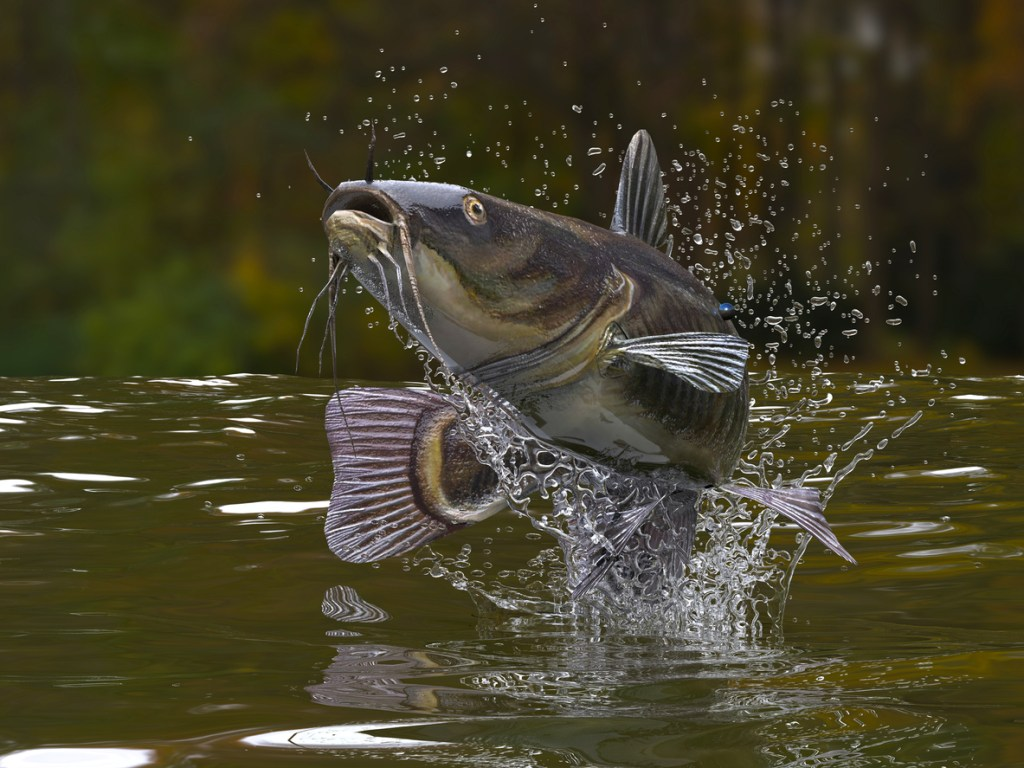catfish jumped