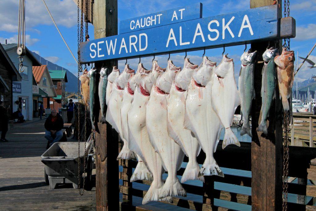 halibuts caught