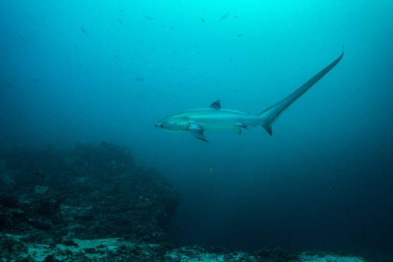 how to land a thresher shark
