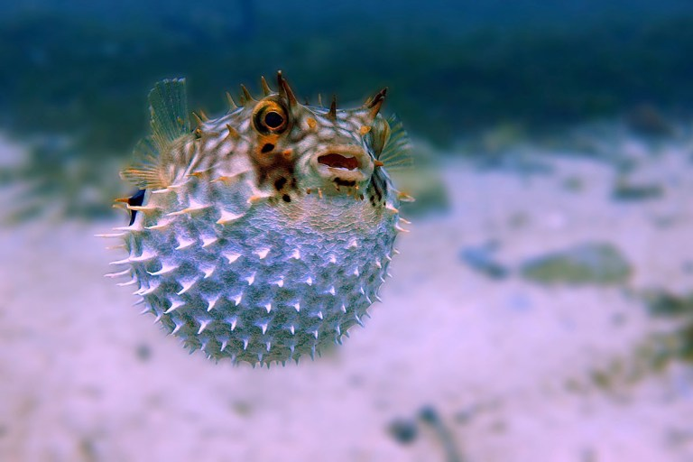 how to unhook a puffer fish