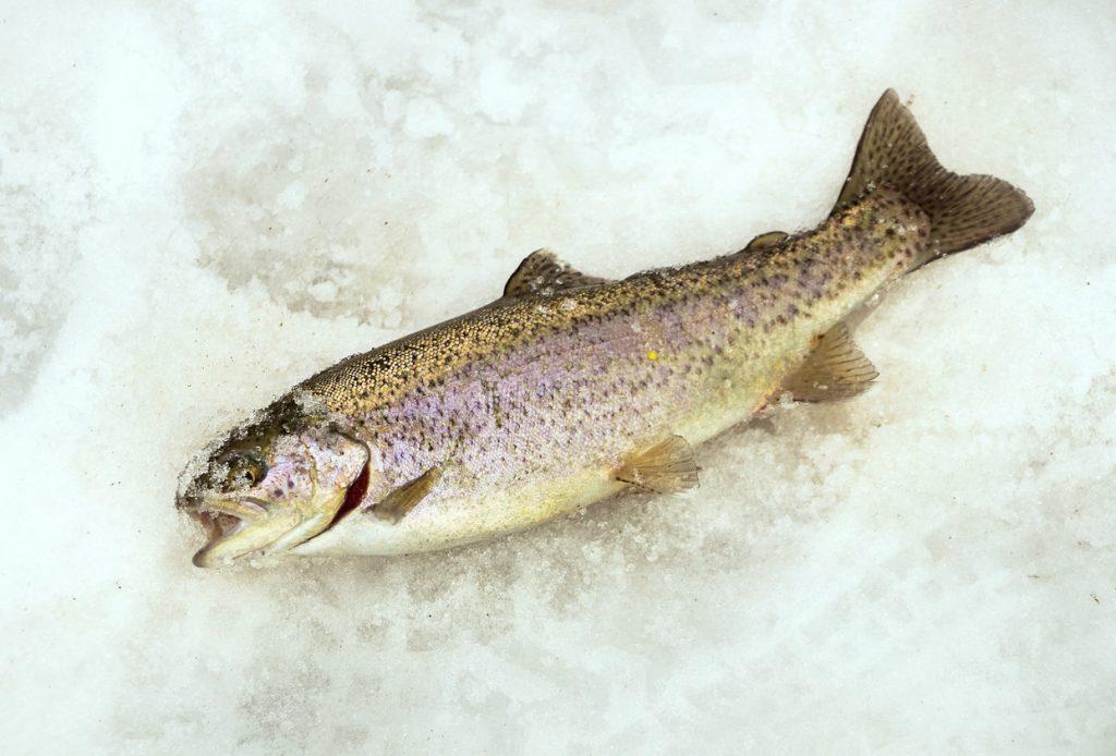 rainbow trout on snow