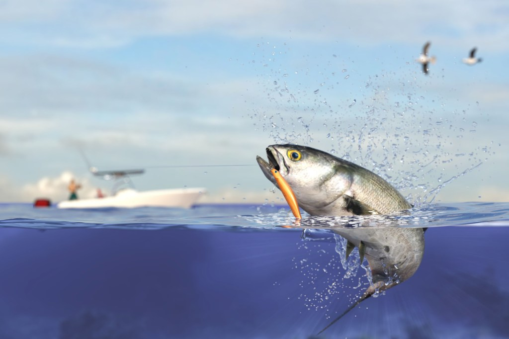 bluefish jumping
