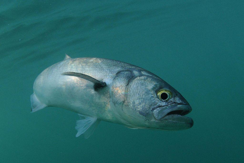 bluefish swimming