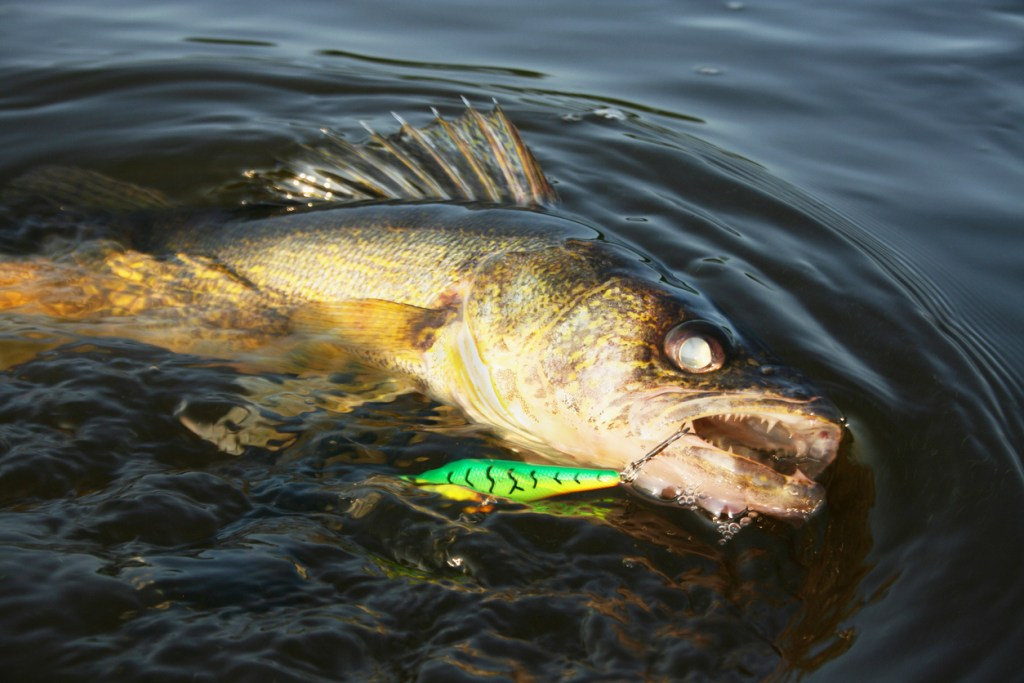 walleye with lure